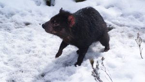 A tasmanian devil playing in the snow